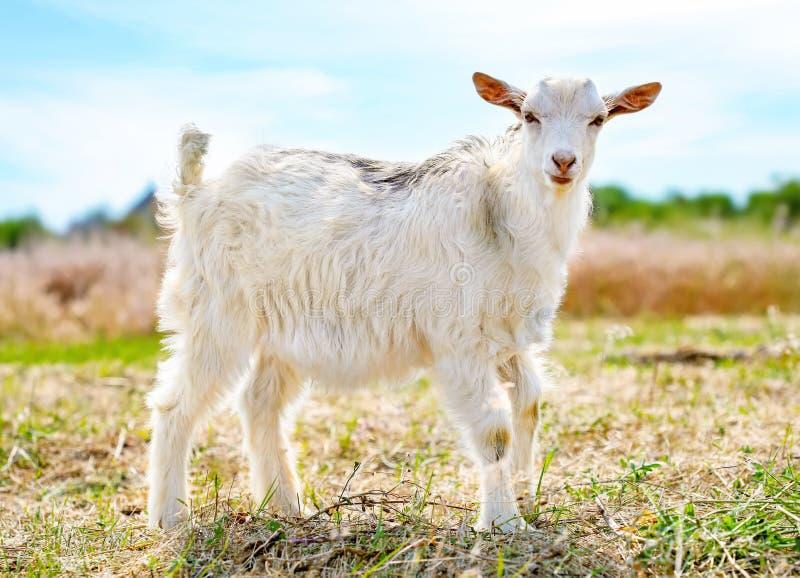 Giovane piccola capra sveglia sul pascolo fotografia stock