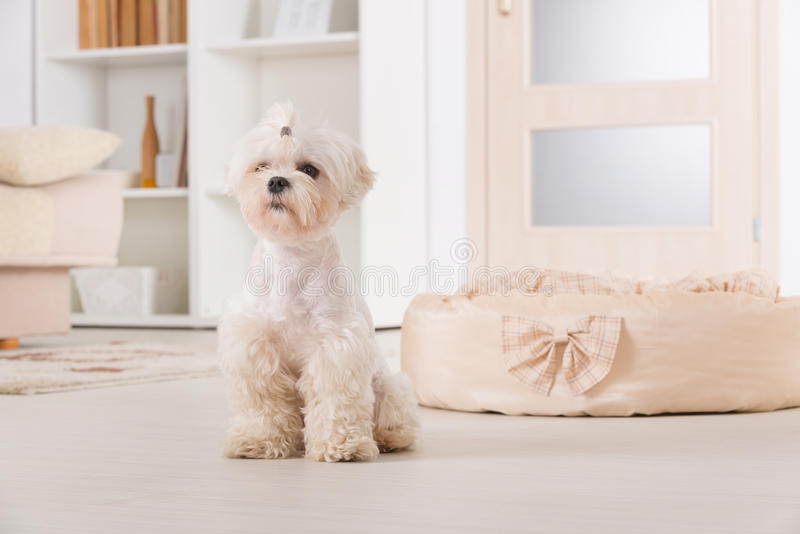 Giovane, piccolo cane a casa fotografia stock