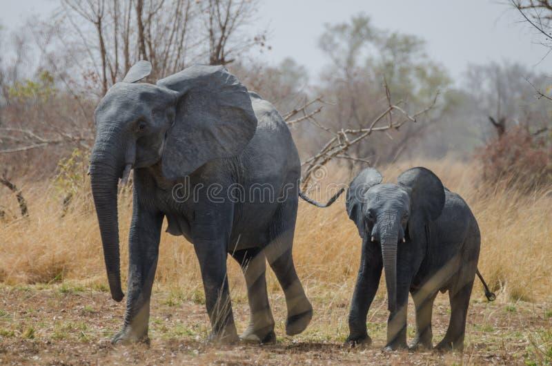 Giovane piccolo elefante africano che cammina accanto a sua madre nel paesaggio della savana, parco nazionale di Pendjari, Benin immagine stock libera da diritti