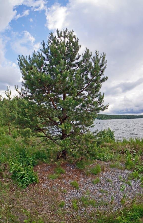 Giovane pino sulla riva del lago fotografie stock