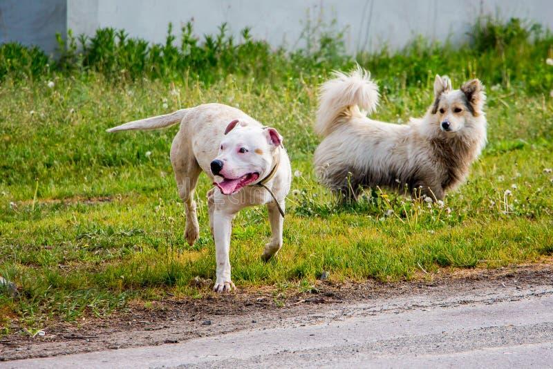 Giovane pitbull bianco della razza del cane accanto al cane bianco lanuginoso su un fre fotografia stock
