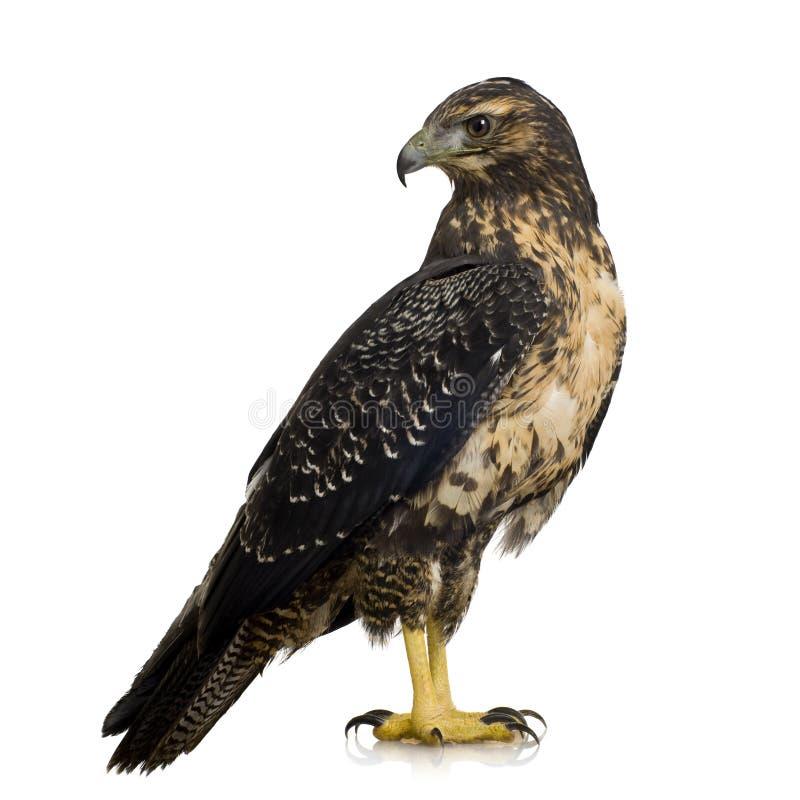 Download Giovane Poiana-aquila Nero-chested Fotografia Stock - Immagine di wildlife, aquila: 3885320