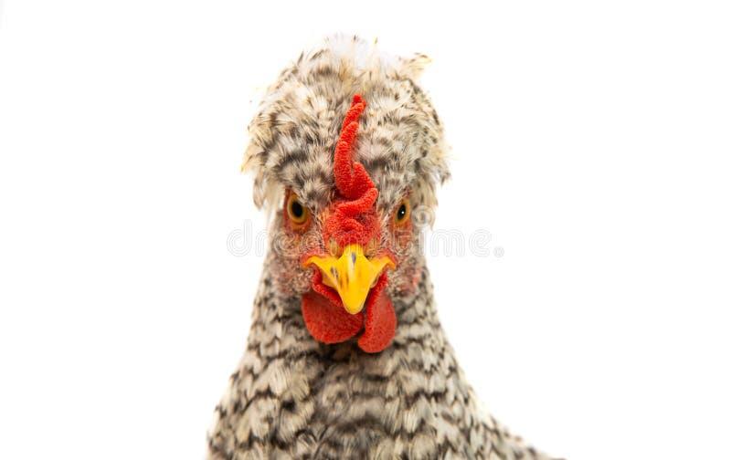 giovane pollo isolato immagini stock
