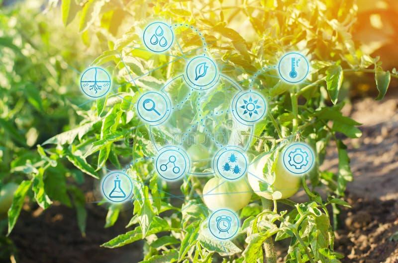 Giovane pomodoro verde di Bush che cresce sui rami coltivando, agricoltura, verdure, prodotti agricoli ecologici, agroindustria,  fotografia stock libera da diritti