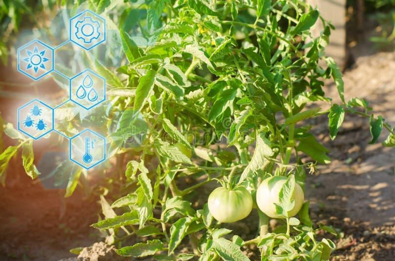 Giovane pomodoro verde di Bush che cresce sui rami coltivando, agricoltura, verdure, prodotti agricoli ecologici, agroindustria,  immagini stock