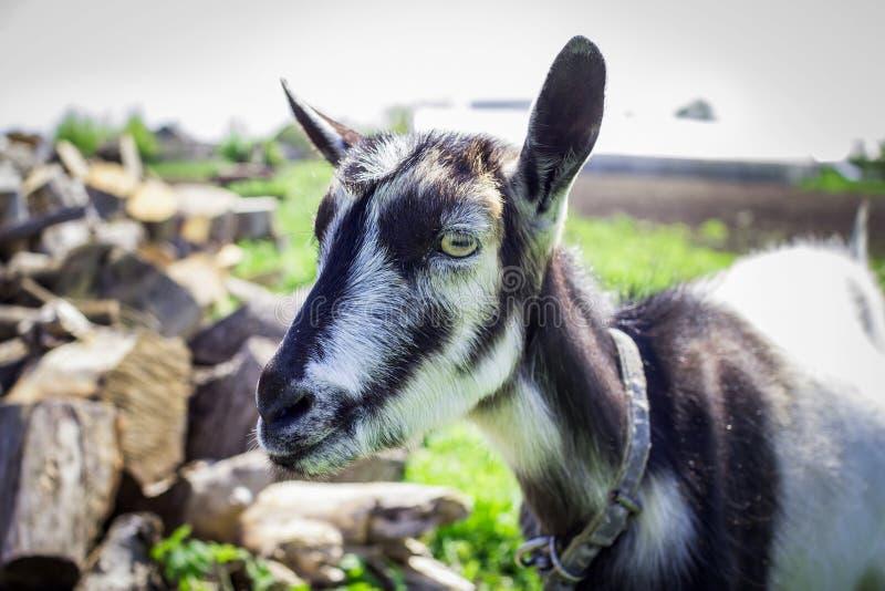 Giovane primo piano della capra domestica immagine stock