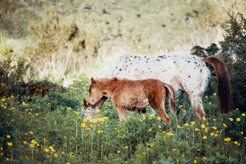 Giovane puledro che cammina con il cavallo bianco immagine stock libera da diritti