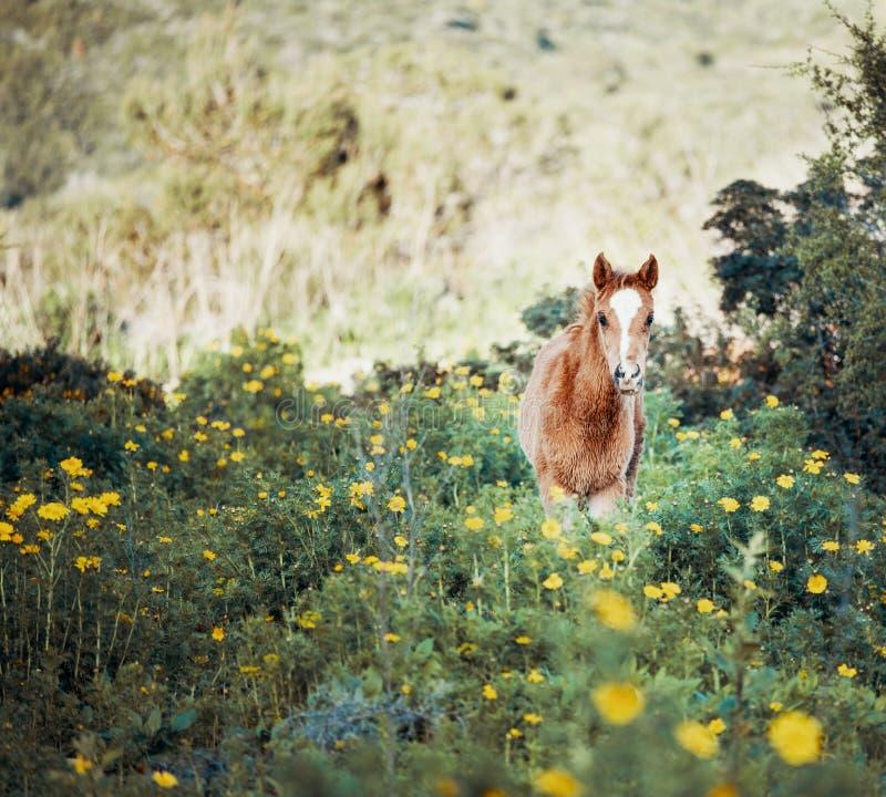 Giovane puledro in un campo di fioritura immagini stock