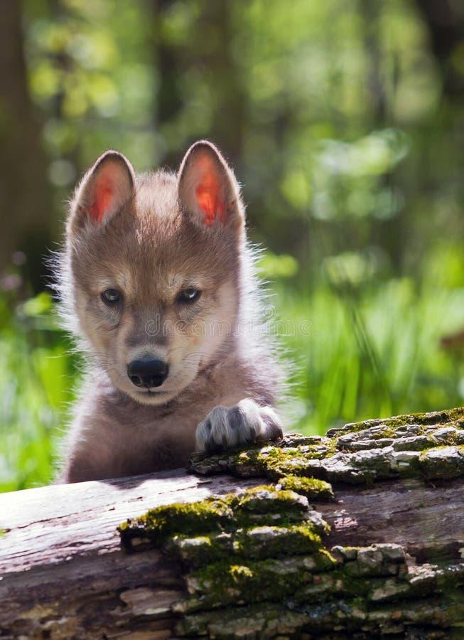 Giovane pup di lupo fotografia stock
