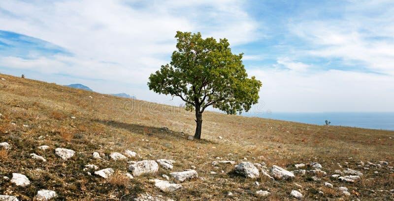 Giovane quercia sul plateau della Crimea fotografie stock