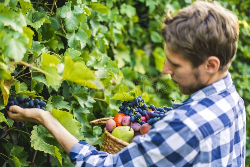 Giovane raccolto barbuto del vino dell'uva della scelta dell'uomo in vigna su un'azienda agricola di stagione estiva fotografia stock libera da diritti
