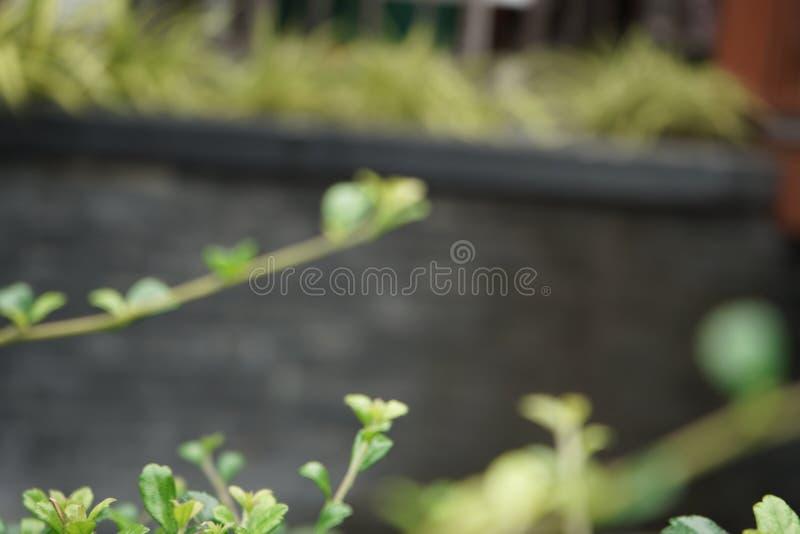Giovane ramo verde con le foglie, cultura di produzione vinicola, uva non matura, vigna della vigna della molla della molla immagini stock libere da diritti