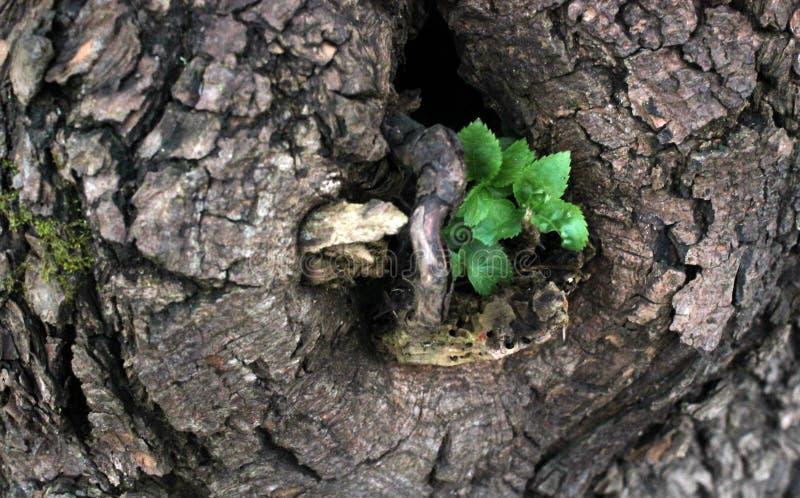 Giovane ramoscello verde che cresce dalla cavità dell'albero immagine stock libera da diritti