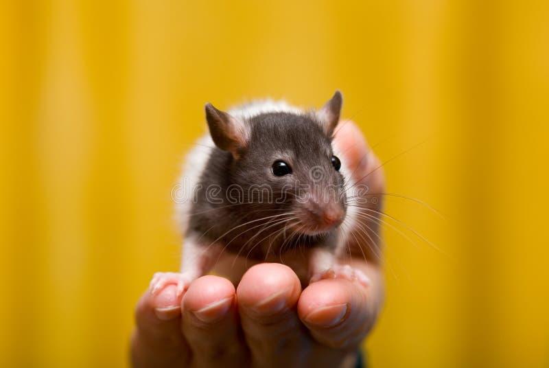 Giovane ratto fotografia stock
