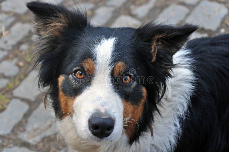 Giovane razza border collie del cane fotografie stock libere da diritti