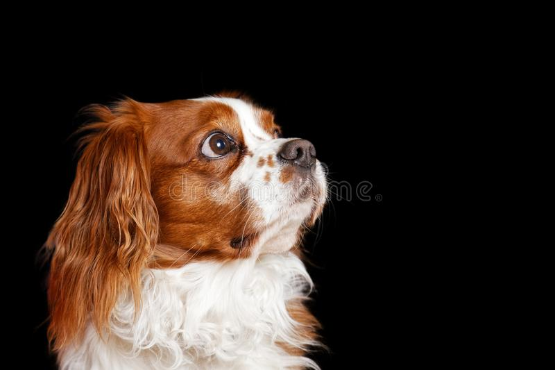Giovane re Charles Spaniel del cane attento distoglie lo sguardo immagine stock libera da diritti