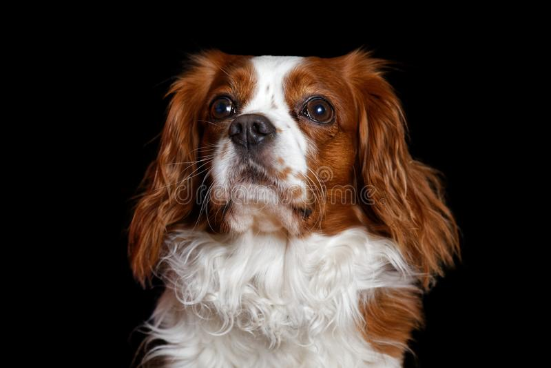 Giovane re Charles Spaniel del cane con i grandi occhi attenti distoglie lo sguardo fotografie stock