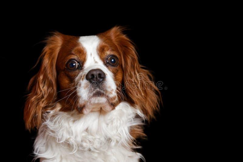 Giovane re Charles Spaniel del cane con il awa attento di sguardi dei grandi occhi immagine stock