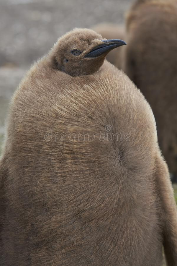 Giovane re Penguin in Falkland Islands fotografie stock