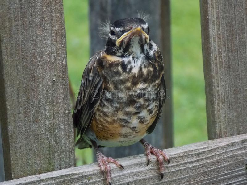 Giovane Robin arrabbiato e scontroso su un recinto di legno fotografia stock