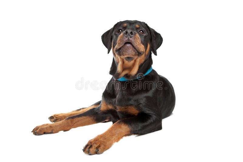 Giovane rottweiler immagini stock libere da diritti