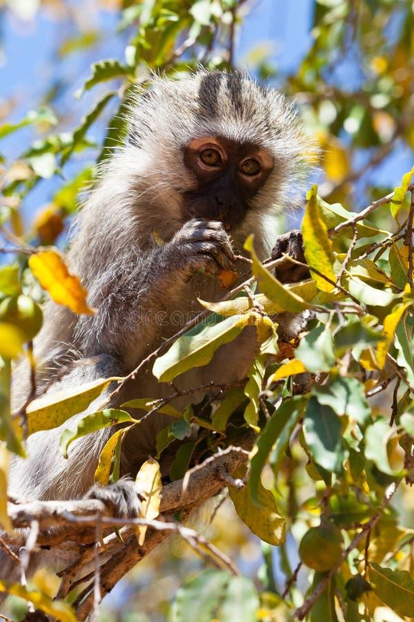 Giovane scimmia che si siede in un albero immagini stock libere da diritti