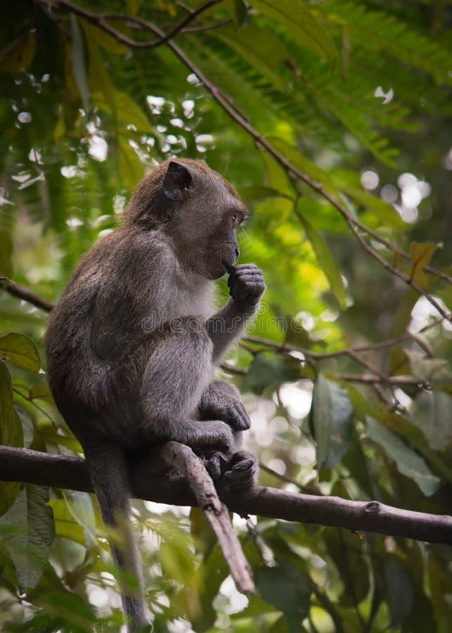 Giovane scimmia di macaco a coda lunga che si siede sul ramo di albero, preso sull'isola di Langkawi, la Malesia fotografie stock libere da diritti