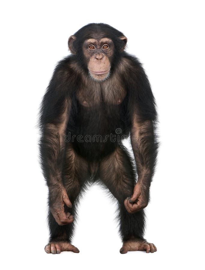 Giovane scimpanzè che si leva in piedi in su come un essere umano - Simia immagine stock libera da diritti