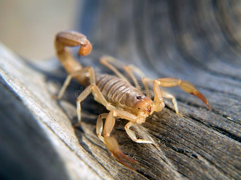 Giovane scorpione fotografia stock