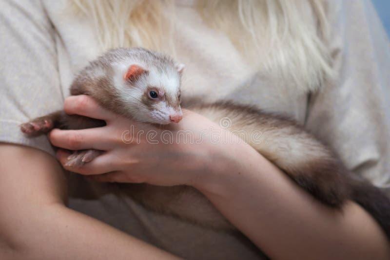 Giovane seduta del furetto sulle sue mani animale ed uomo di amicizia fotografie stock libere da diritti
