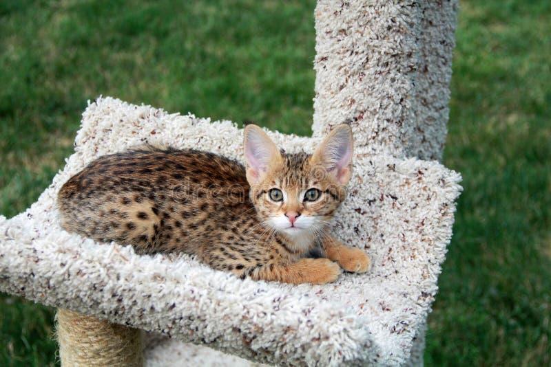 Giovane Serval Savannah Kitten su un albero del gatto fotografie stock libere da diritti