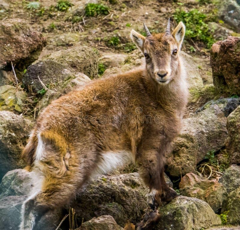 Giovane stambecco alpino che sta su alcune rocce, animale giovanile dalle alpi europee immagine stock libera da diritti