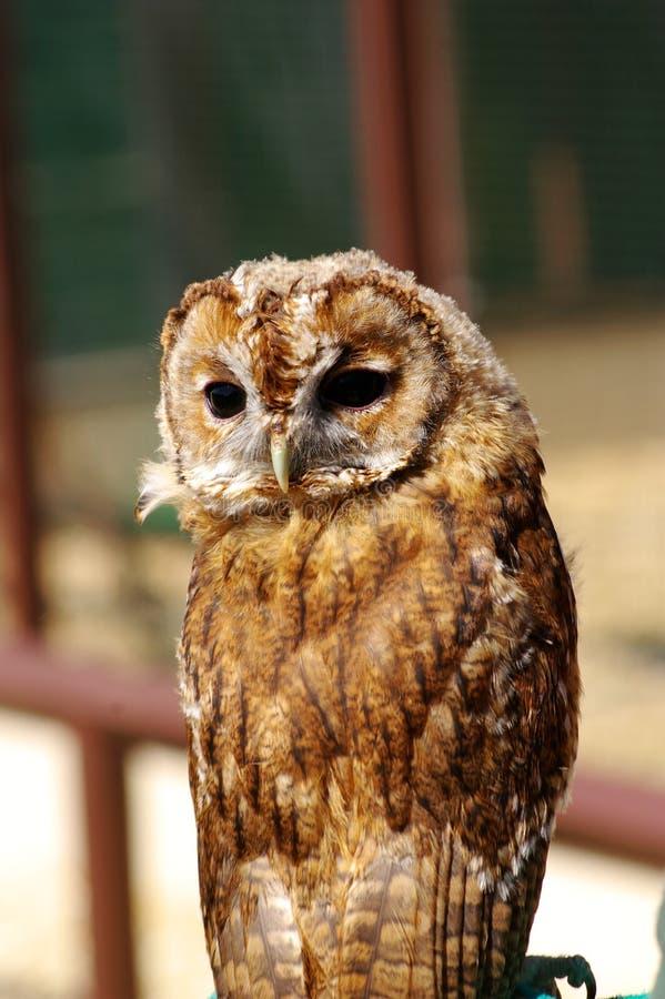 Giovane Tawny Owl sulla pertica fotografia stock