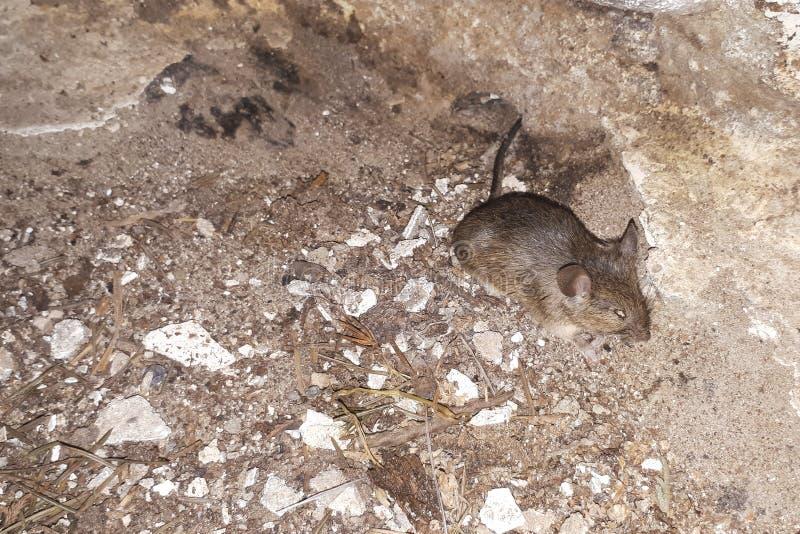 giovane topo è morto in fattoria fotografie stock libere da diritti