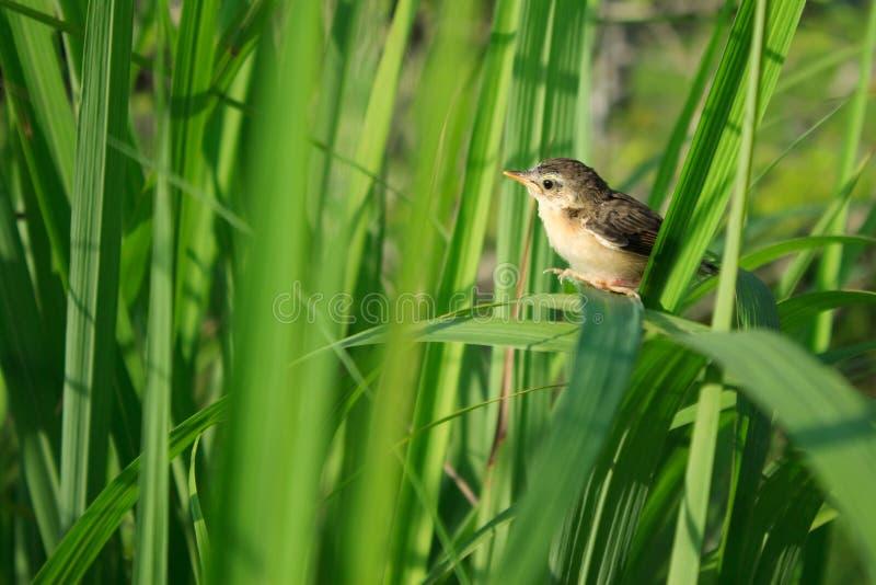 Giovane uccello su citronella fotografia stock