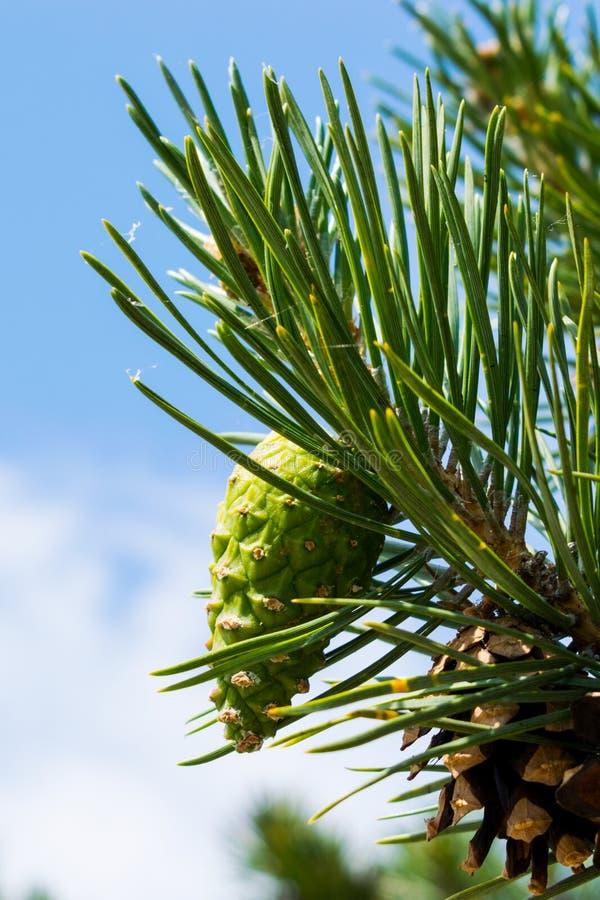 Giovane urto verde su un bello ramo del pino Urto verde su un ramo del pino fotografia stock