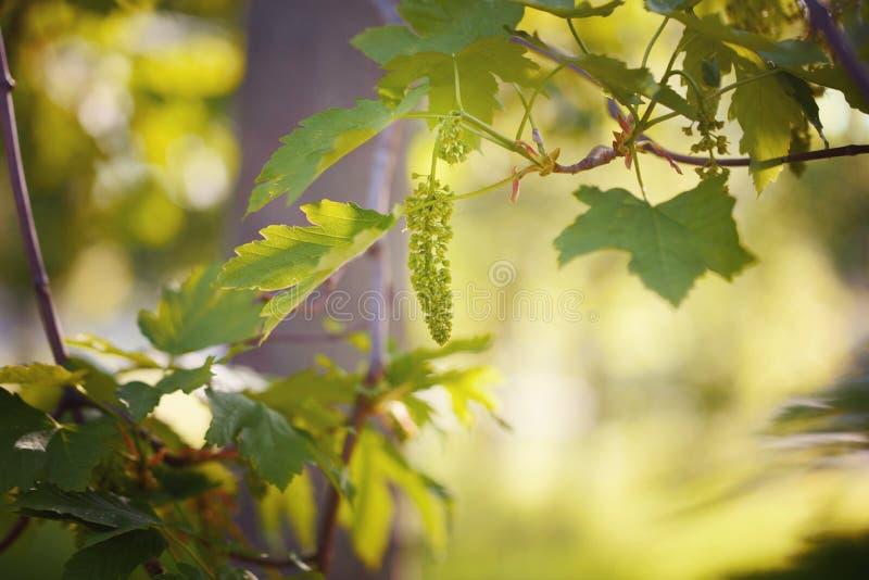 Giovane uva su un bello fondo di tramonto Bella giovane uva nel giardino fotografia stock