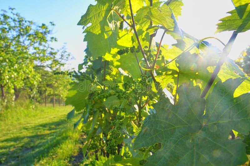 Giovane vigna in wineyard Primo piano della vigna fotografie stock libere da diritti