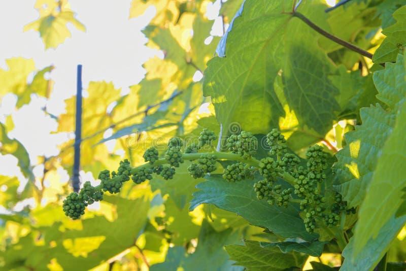 Giovane vigna in wineyard Primo piano della vigna Wineyard alla molla Chiarore di Sun Paesaggio della vigna La vigna rema la a fotografie stock libere da diritti