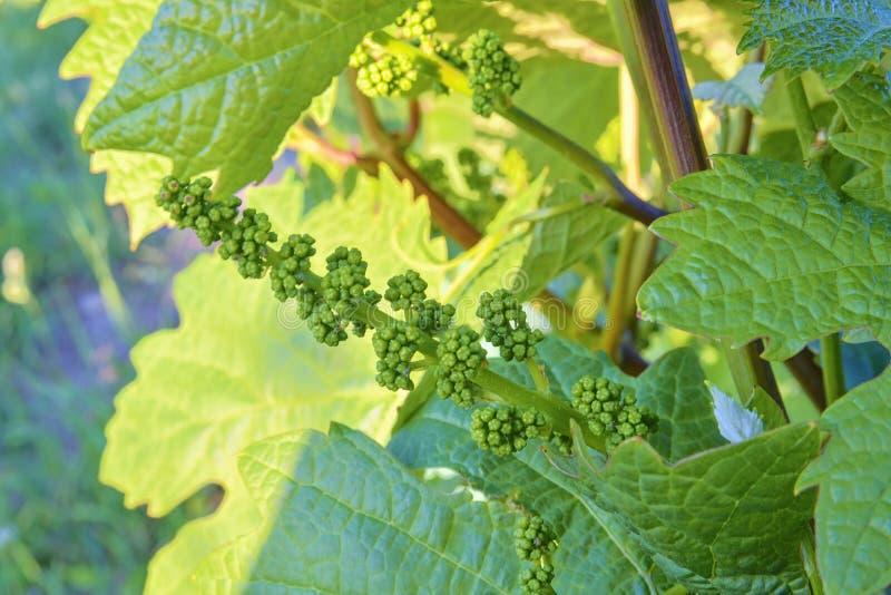 Giovane vigna in wineyard Primo piano della vigna Wineyard alla molla Chiarore di Sun Paesaggio della vigna La vigna rema la a fotografia stock libera da diritti