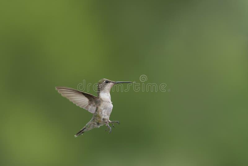 Giovane volo Rubino-throated minuscolo del colibrì nel giardino fotografie stock