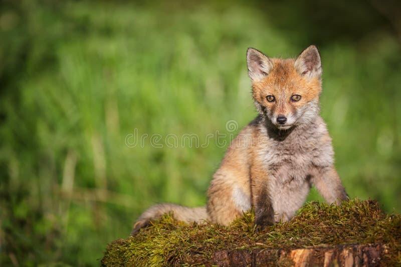 Giovane volpe rossa su un letto di muschio fotografia stock libera da diritti