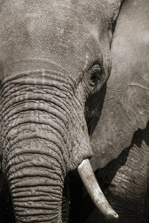 Giovane zanna del parco nazionale di Amboseli della zanna dell'elefante immagini stock