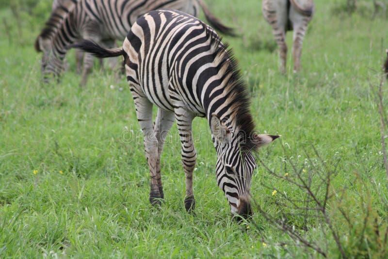 Giovane zebra fotografia stock