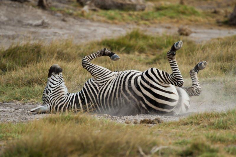 Giovane zebra che si trova giù sulla parte posteriore immagini stock