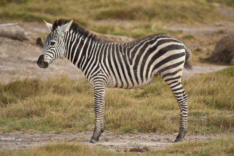 Giovane zebra che sta nella savanna immagine stock libera da diritti