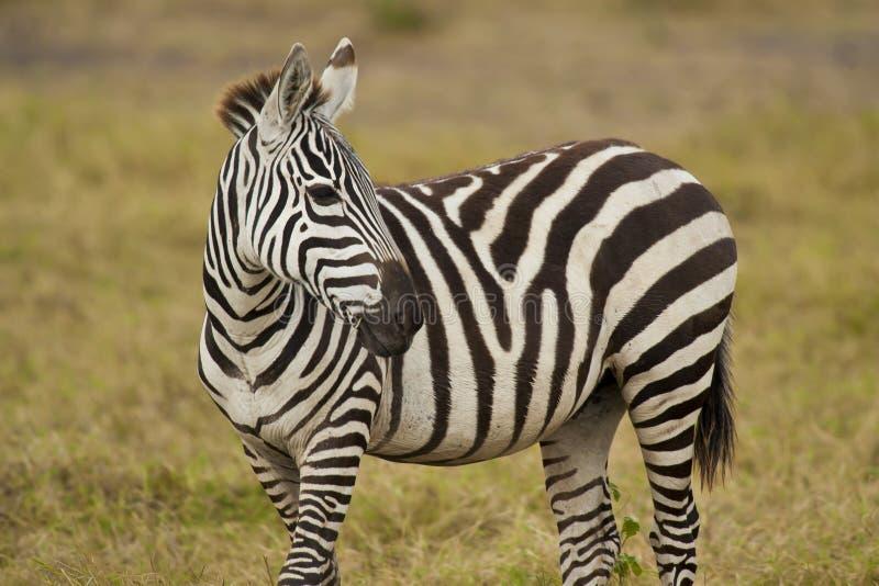 Giovane zebra che sta nella savanna fotografie stock