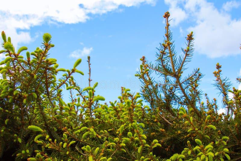 Giovani aghi sull'albero di abete fotografia stock