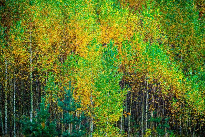 Giovani alberi di betulla nella caduta fotografia stock