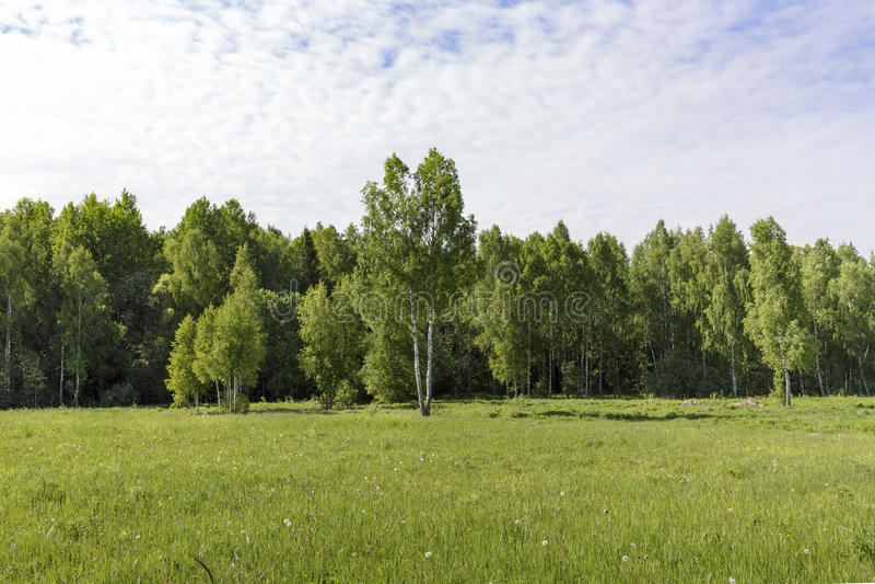 Giovani alberi di betulla su un prato al bordo della mattina soleggiata della radura della foresta fotografia stock